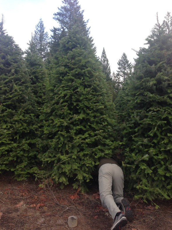 Tree #1 is 7.5 feet tall and this tree that Tony is cutting for tree #2 is 11 feet tall!